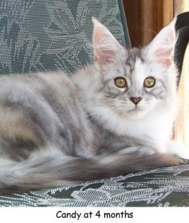 purebred silver patch tabby kitten