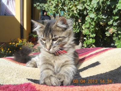 Maine Coon in Chile