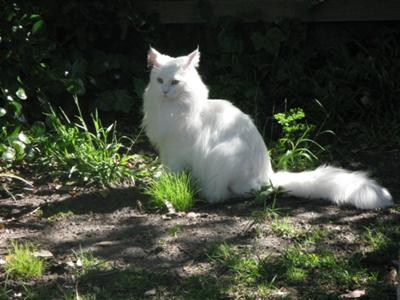 Ice is a gorgeous White Maine Coon
