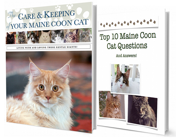 The Care & Keeping Of Your Maine Coon