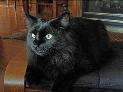 Black maine coon mix