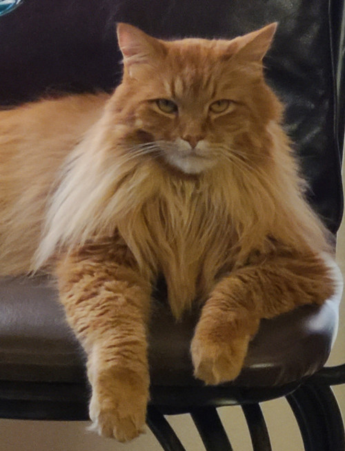 beautiful ginger maine coon cat