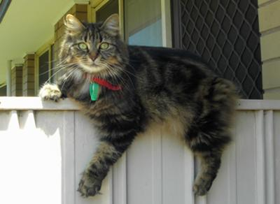 fluffy brown tabby lounging on fence