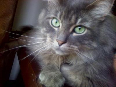 pretty gray longhaired cat looking lovingly up to camera with green eyes