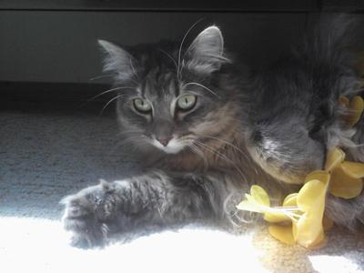 bella the silver female maine coon