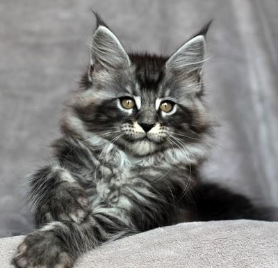 10 Maine Coons With Amazing Eyes