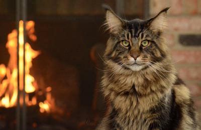 gorgeous brown tabby maine coon looking into camera