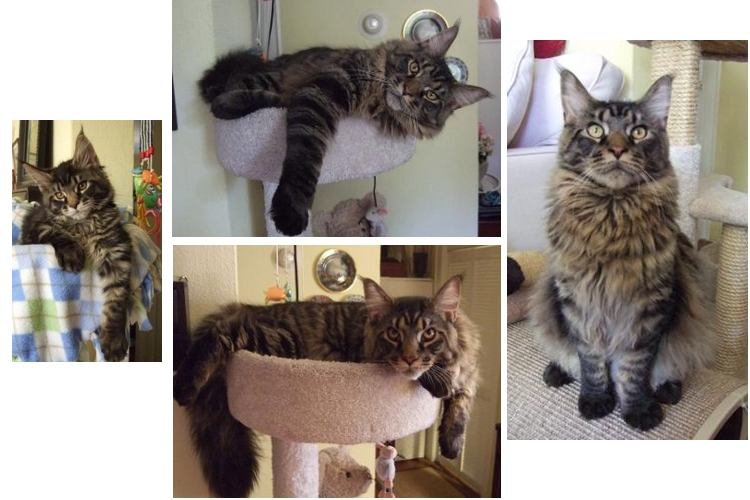 bentley the purebred brown tabby maine coon