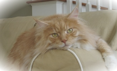 big red silver cameo maine coon cat