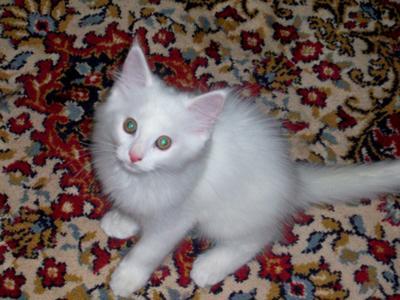 little white maine coon kitten