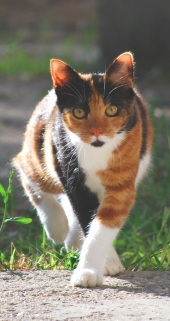 calico cat jogging toward camera