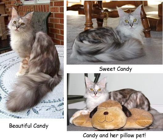 purebred silver patch tabby with white maine coon