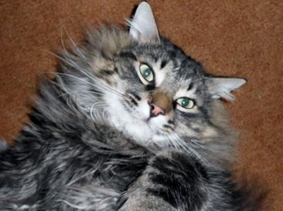 captain hook brown maine coon cat