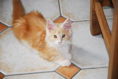 chewie red white maine coon kitten