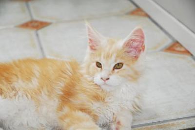 chewie red white maine coon kitten