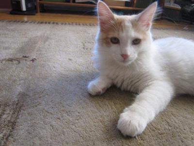 ginger and white maine coon mix