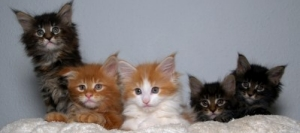 five colorful coonie kittens
