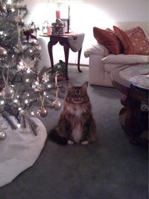 dillon the maine coon
