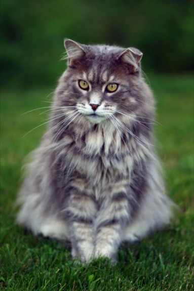 elliot the classic blue maine coon
