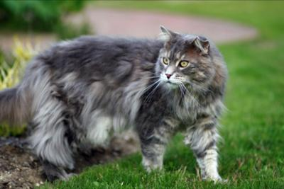 classic blue male maine coon, elliot