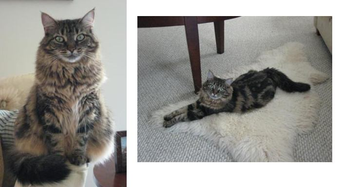 fiona the tabby resue maine coon