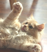 Funny photo of Cameo Maine Coon kitten playing