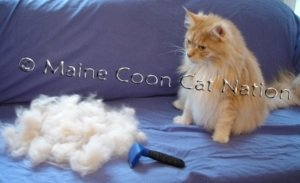maine coon cat and ball of fur after grooming