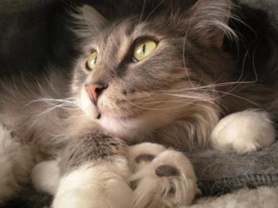 gray/white maine coon