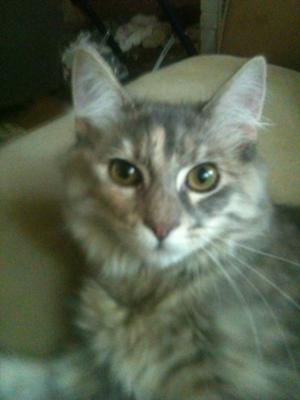 gigi the gray tabby maine coon girl