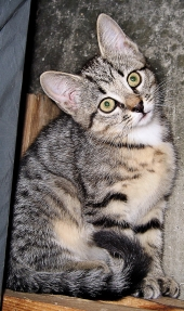 shorthaired brown tabby kitten