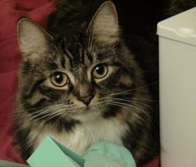Is Fluffy A Maine Coon...