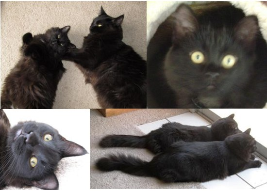 two black cats brothers