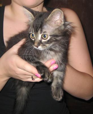 maine coon mix kitten