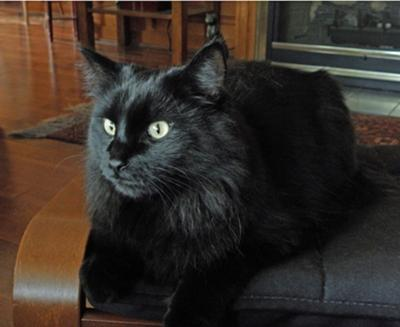 jimmie the black maine coon