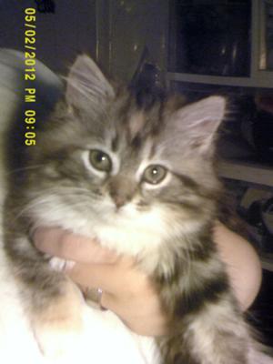 Maine coon melbourne kitten sale