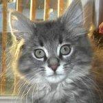 cute silver kitten