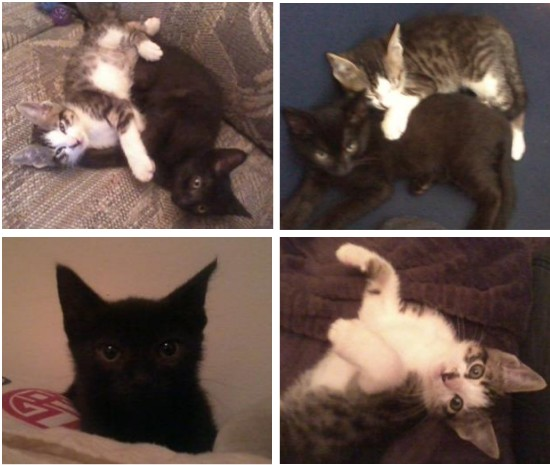two cute maine coon mix kittens