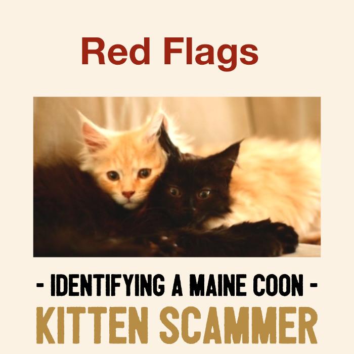 maine coon kitten scam warning