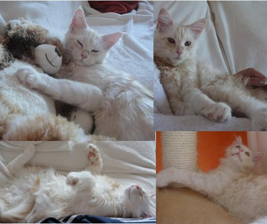 silver tabby white purebred maine coon kitten