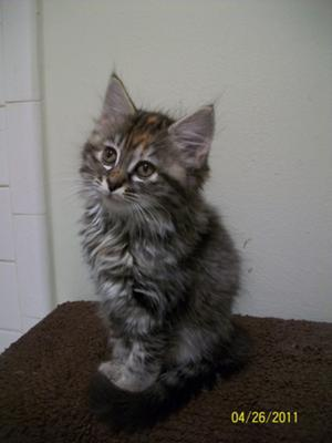Maine Coon Cats For Sale Austin Texas