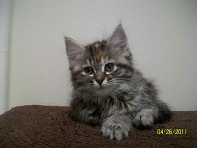 Maine coon kitten houston
