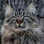 gorgeous brown tabby outside