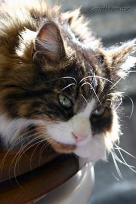 max the maine coon cat