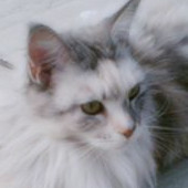 Mississippi the Maine Coon