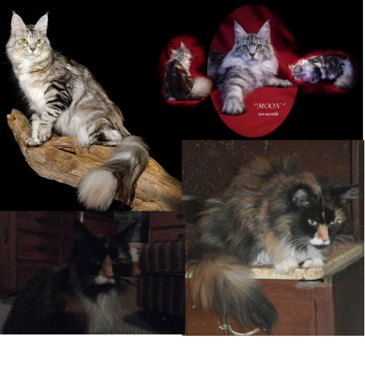 two retired maine coon cats