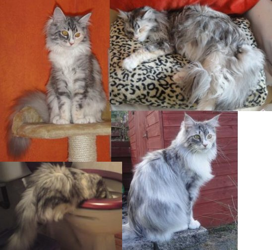 muska silver tortie purebred maine coon