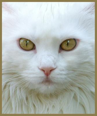 close up of white maine coon cat