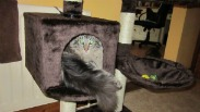 oscar the maine coon squeezed in a cat condo