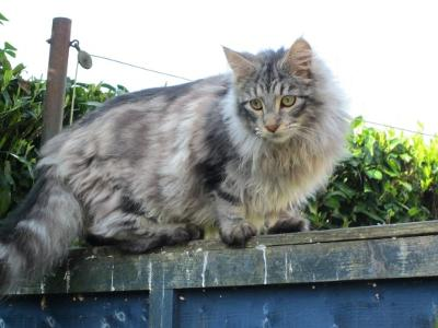 oscar silver maine coon cat