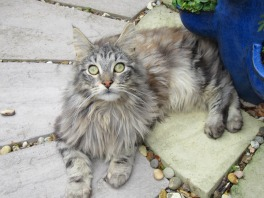 oscar the purebred silver maine coon boy